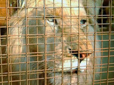 Rare white lion may be saved by 'mystery donor'