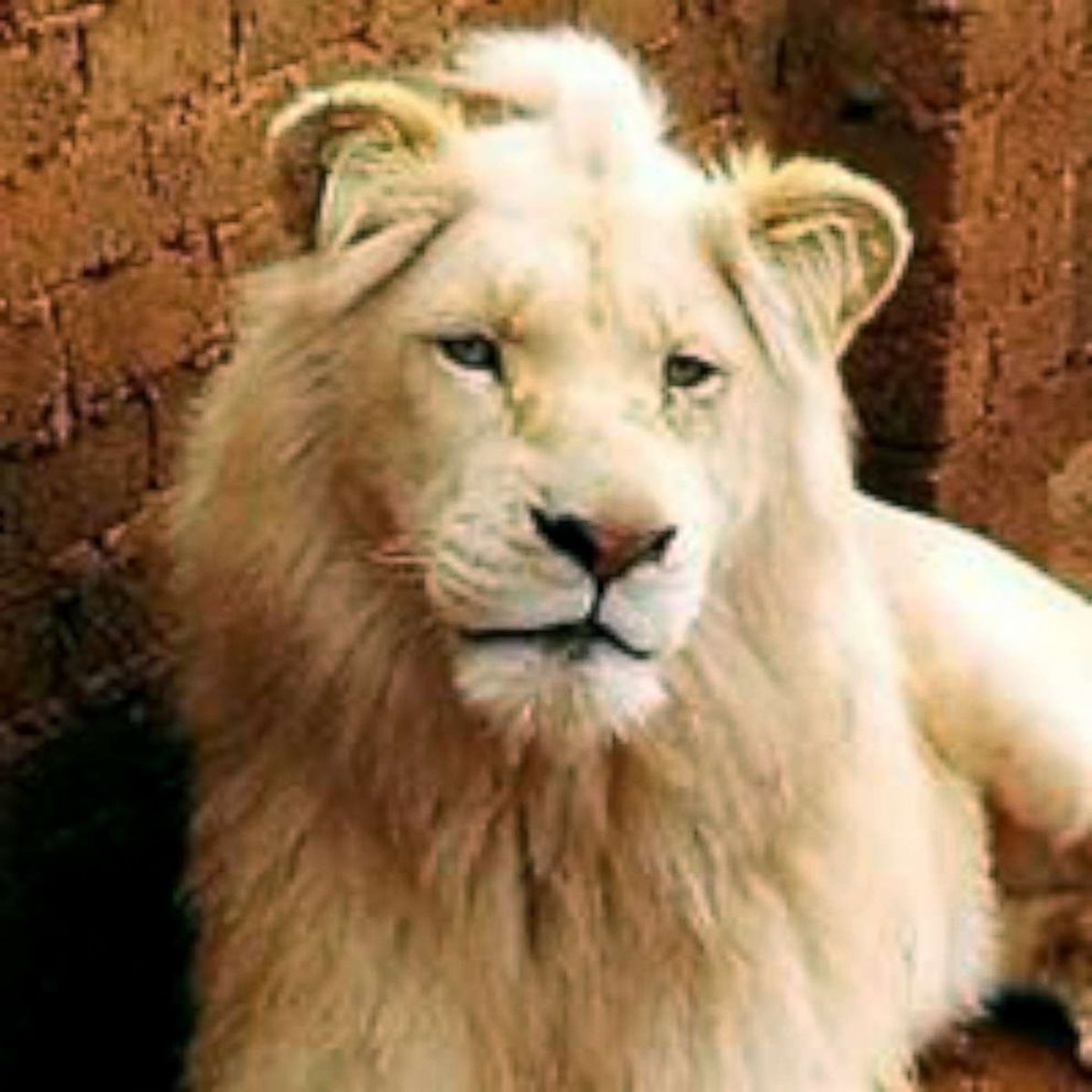PHOTO: Activists in South Africa are fighting to prevent the auction of a rare, three-year-old white lion named Mufasa.