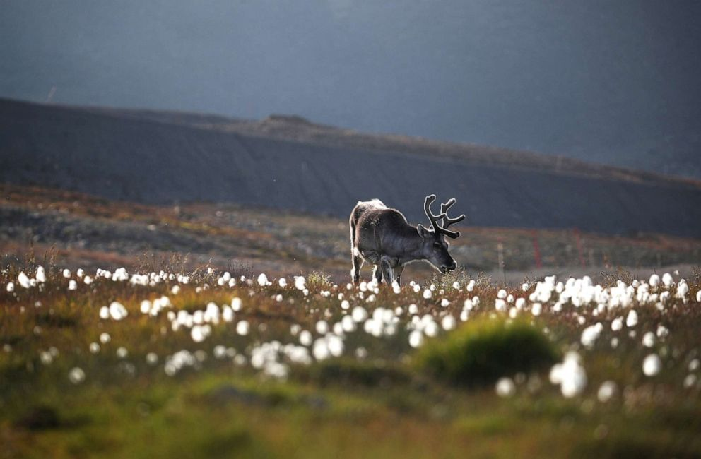 PHOTO:A reindeer grazes on land in the town of Longyearbyen in Svalbard, Norway, Aug. 4, 2019.