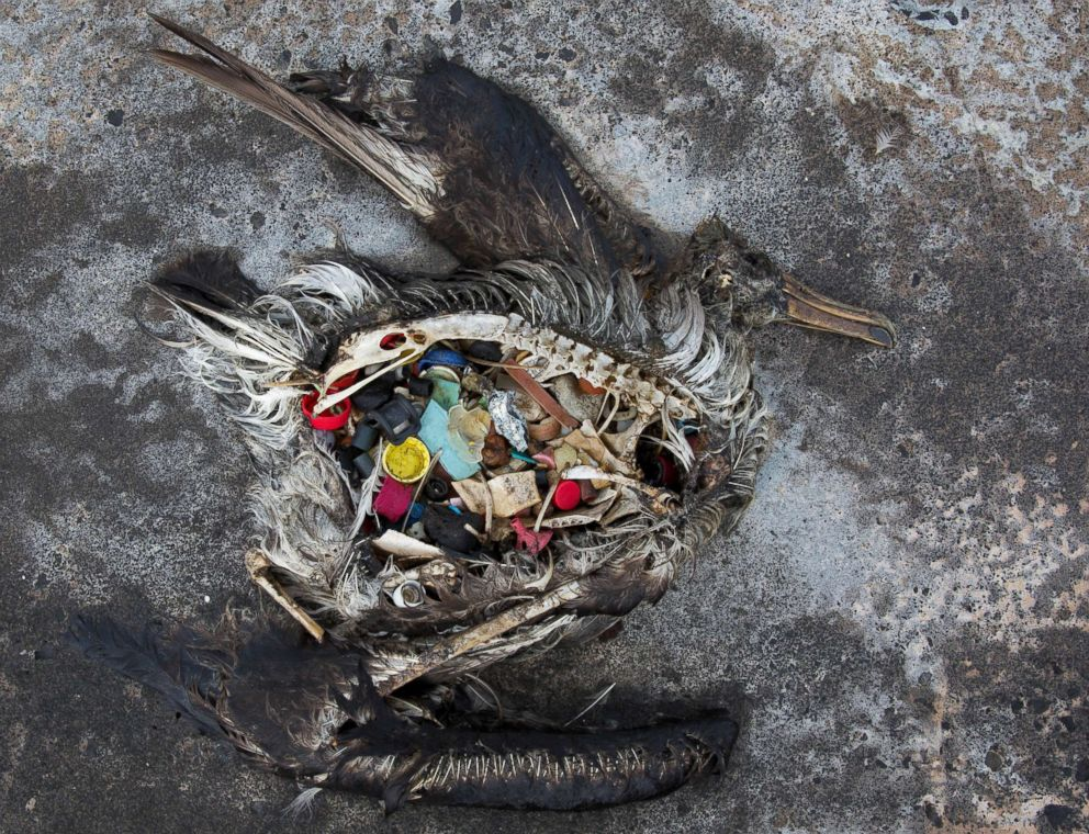 PHOTO: A black footed albatross chick with plastics in its stomach lies dead on Midway Atoll in the Northwestern Hawaiian Islands, Nov. 2, 2014. Midway sits amid a collection of man-made debris called the Great Pacific Garbage Patch.