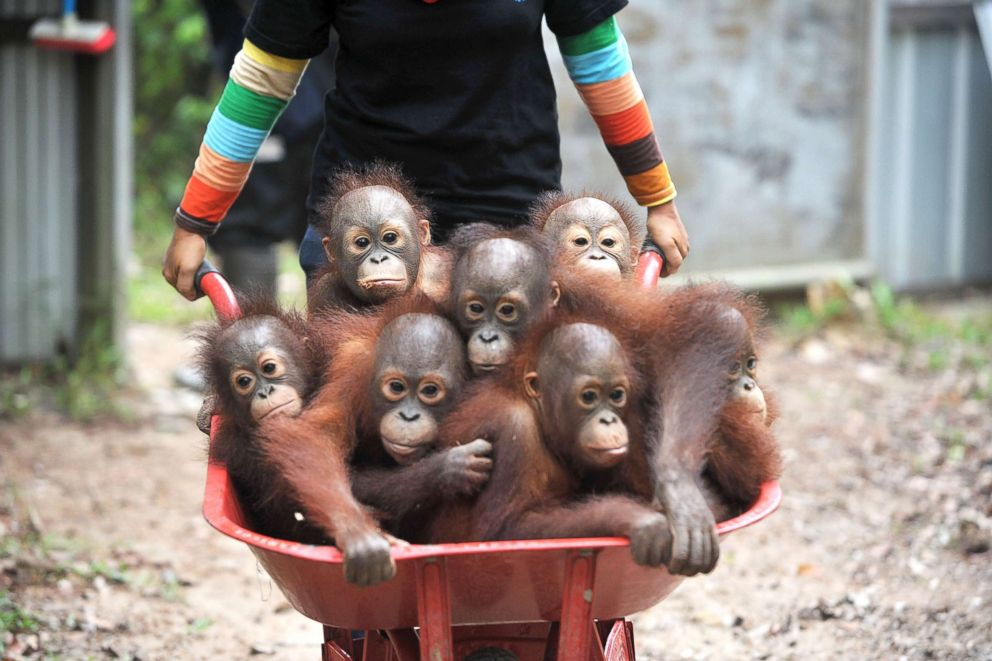 PHOTO: Caretakers at the International Animal Rescue (IAR) Orangutan Safety and Conservation Center, bring orangutan babies in wheelbarrows at a forest school in Ketapang, West Kalimantan, Sept., 18, 2018, in Indonesia.