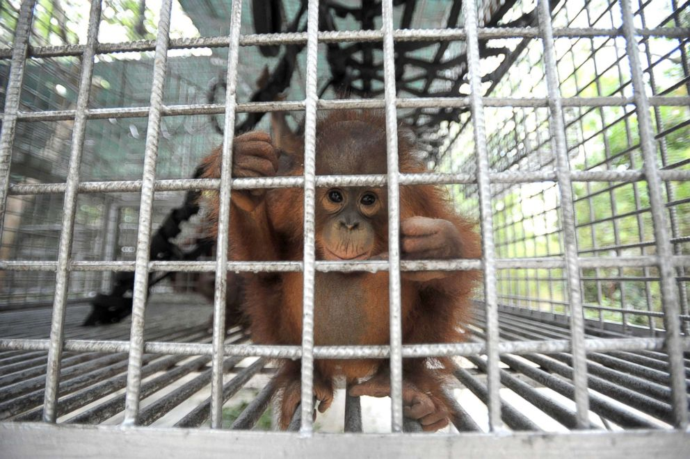 PHOTO: The International Animal Rescue (IAR) Orangutan Safety and Conservation Center rescue and care for baby orangutans, Sept. 18, 2018, in Ketapang, West Kalimantan, Indonesia.