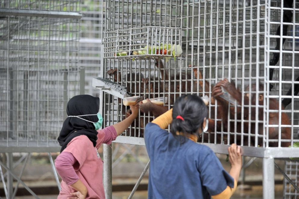 PHOTO: Keepers give orangutan babies milk and food at the International Animal Rescue (IAR) Orangutan Safety and Conservation Center, Ketapang, West Kalimantan, Sept., 18, 2018, in Indonesia.