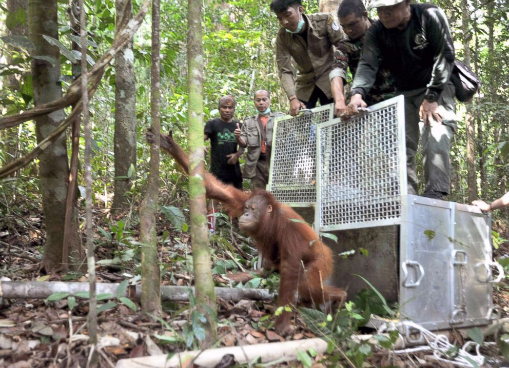 PHOTO: Orangutans are being released and climb up to the tree tops in the forest of Bukit Baka Bukit Raya National Park, in West Kalimantan, Sept. 14, 2018, in Indonesia.