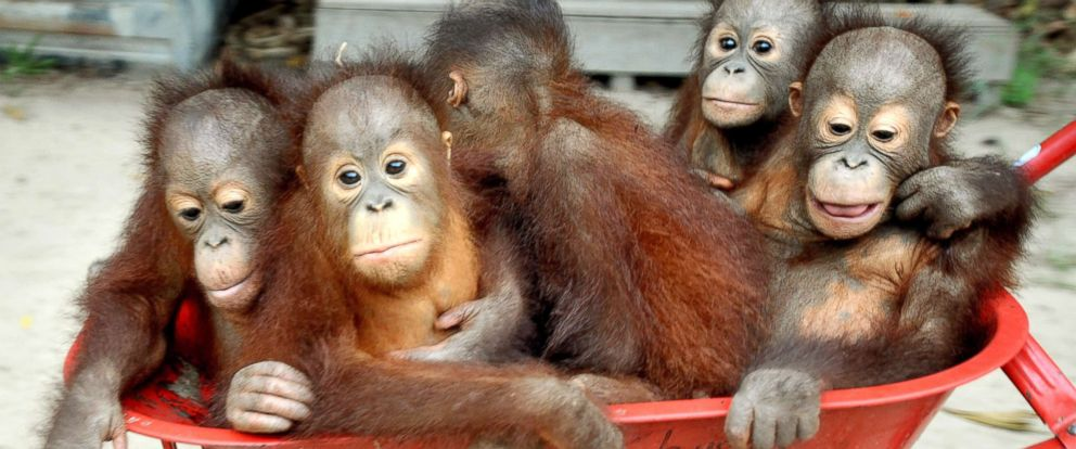 Baby orangutans released back into the wild after