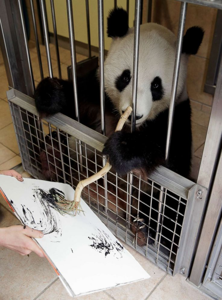 PHOTO: Giant Panda Yang Yang uses finger paint and a brush to create a picture at Schoenbrunn Zoo in Vienna, Austria, Aug. 10, 2018.