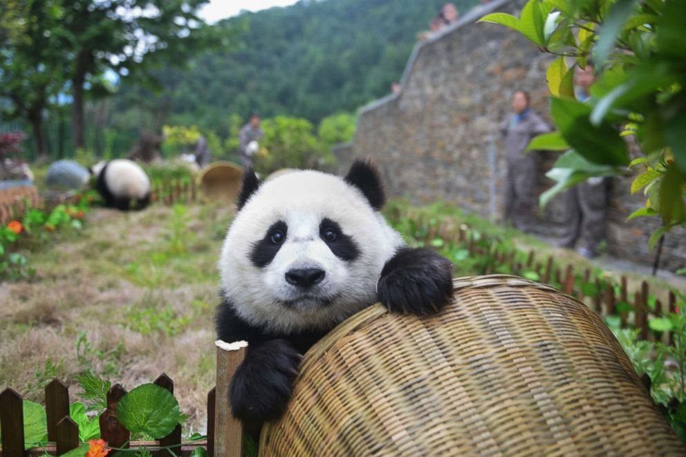PHOTO: A panda plays with a basket goal during a simulated soccer match at the Shenshuping Base of the China Conservation and Research Centre for the Giant Panda in Wenchuan, China.