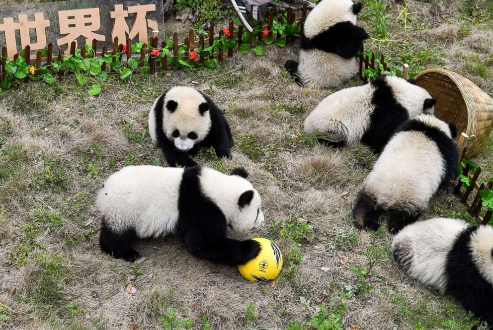 PHOTO: A makeshift soccer pitch becomes a playground for giant pandas cubs during a match held at the Shenshuping Base of the China Conservation and Research Centre for the Giant Panda in Wenchua, China, June 10, 2018.