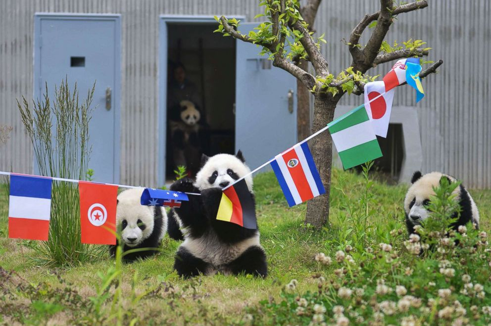 PHOTO: Giant panda cubs play with national flags hanging over a makeshift soccer pitch set up in their enclosure at the Shenshuping Base of the China Conservation and Research Centre for the Giant Panda in Wenchuan, China.