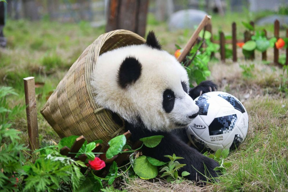 PHOTO: A panda playing in a mock soccer match seem more interested in playing in the basket goal than scoring, an event at the Shenshuping Base of the China Conservation and Research Centre for the Giant Panda in Wenchuan, China.