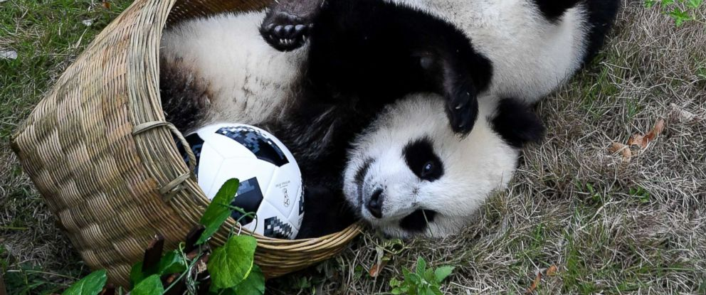 PHOTO: Giant panda cubs play soccer at Shenshuping Base of the China Conservation and Research Centre for the Giant Panda in Wenchuan, China, June 10, 2018.