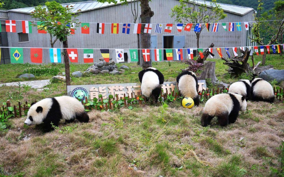PHOTO: Pandas play on a makeshift soccer pitch during a match at the Shenshuping Base of the China Conservation and Research Centre for the Giant Panda in Wenchuan, China, June 10, 2018, as the World Cup gets underway in Russia.