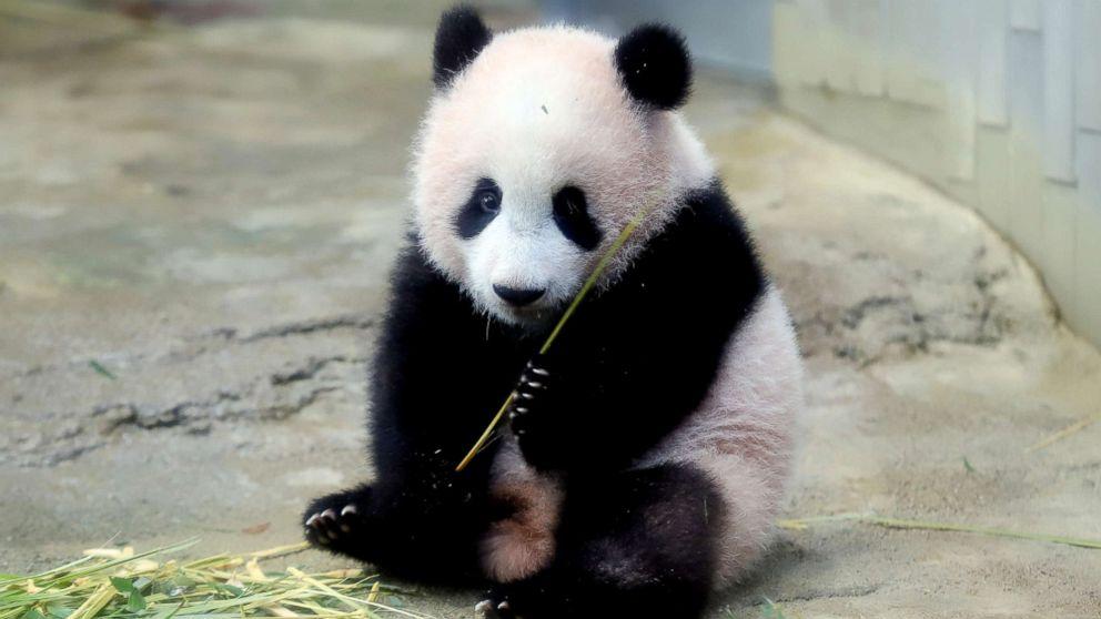 Lottery winners get glimpse of Japan's new baby panda - ABC News