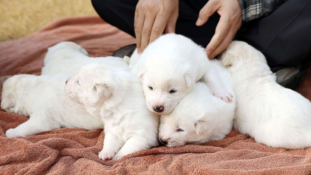 A hunting dog given to South Korea by North Korea gave birth to six puppies.