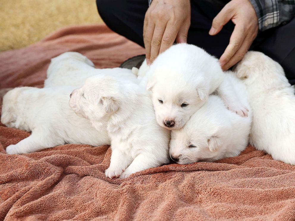 PHOTO: A hunting dog given to South Korea by North Korea gave birth to six puppies.
