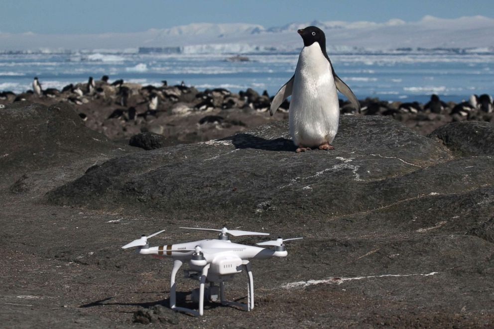 PHOTO: An Adelie penguin looks at a drone on Heroina Island, Danger Islands, Antarctica. Scientists used drones in their research to help count the large colony of nesting birds.