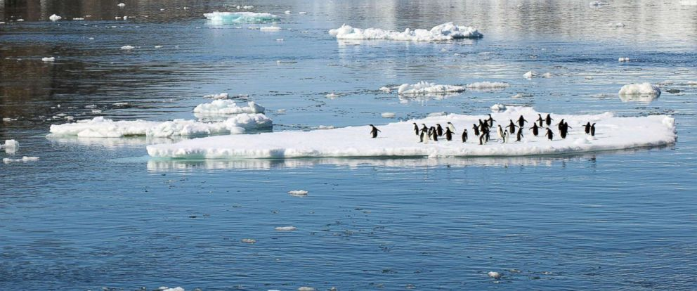 PHOTO: Adelie penguins stand on sea ice next to Comb Island, Danger Islands, Antarctica, where a thriving colony was found by scientists.