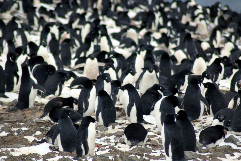 PHOTO: A thriving hotspot of some 1.5 million Adelie penguins has been discovered on the remote Danger Islands in the east Antarctic, surprised scientists.