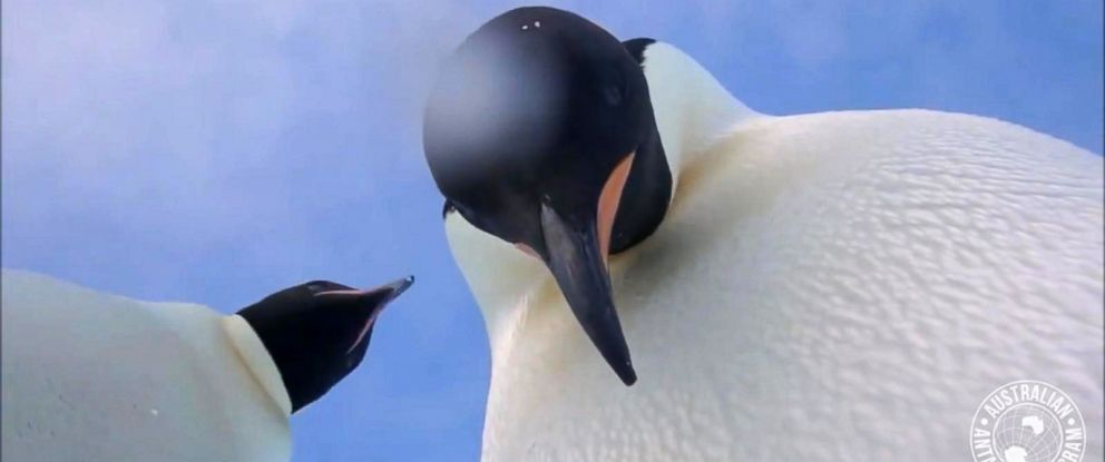 PHOTO: Two curious penguins starred in their own selfie video when they found a camera left on the ice in Antarctica, in a video shared on March 8, 2018.