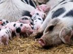 Piglets hang out in Germany