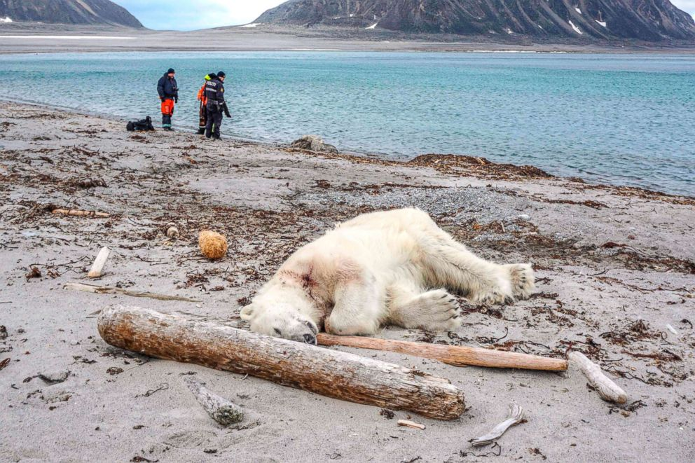 PHOTO: A dead polar bear lays at the beach at Sjuoyane north of Spitzbergen, Norway, July 28, 2018.