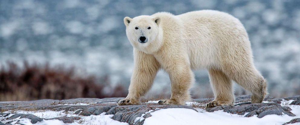 PHOTO: Polar bear walks through the snow in this stock photo.