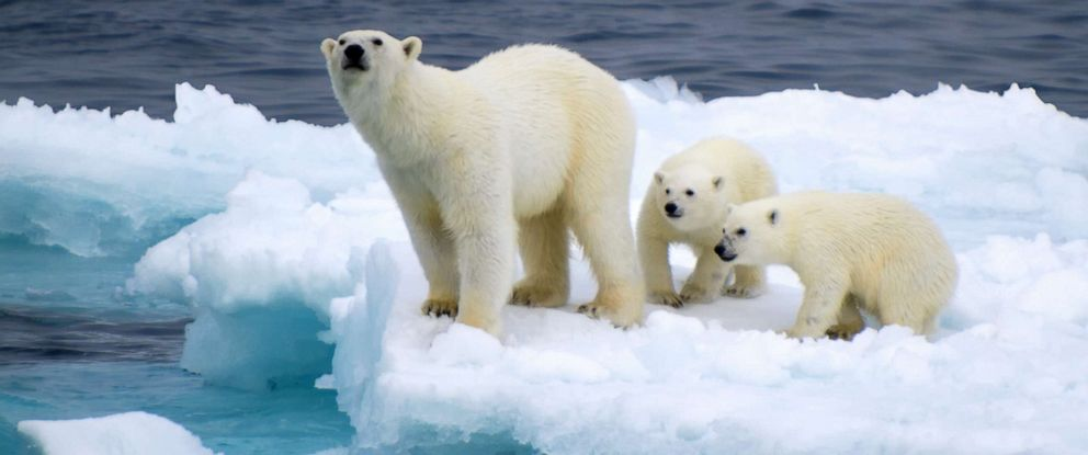 PHOTO: Polar bears sit on ice in this stock photo.