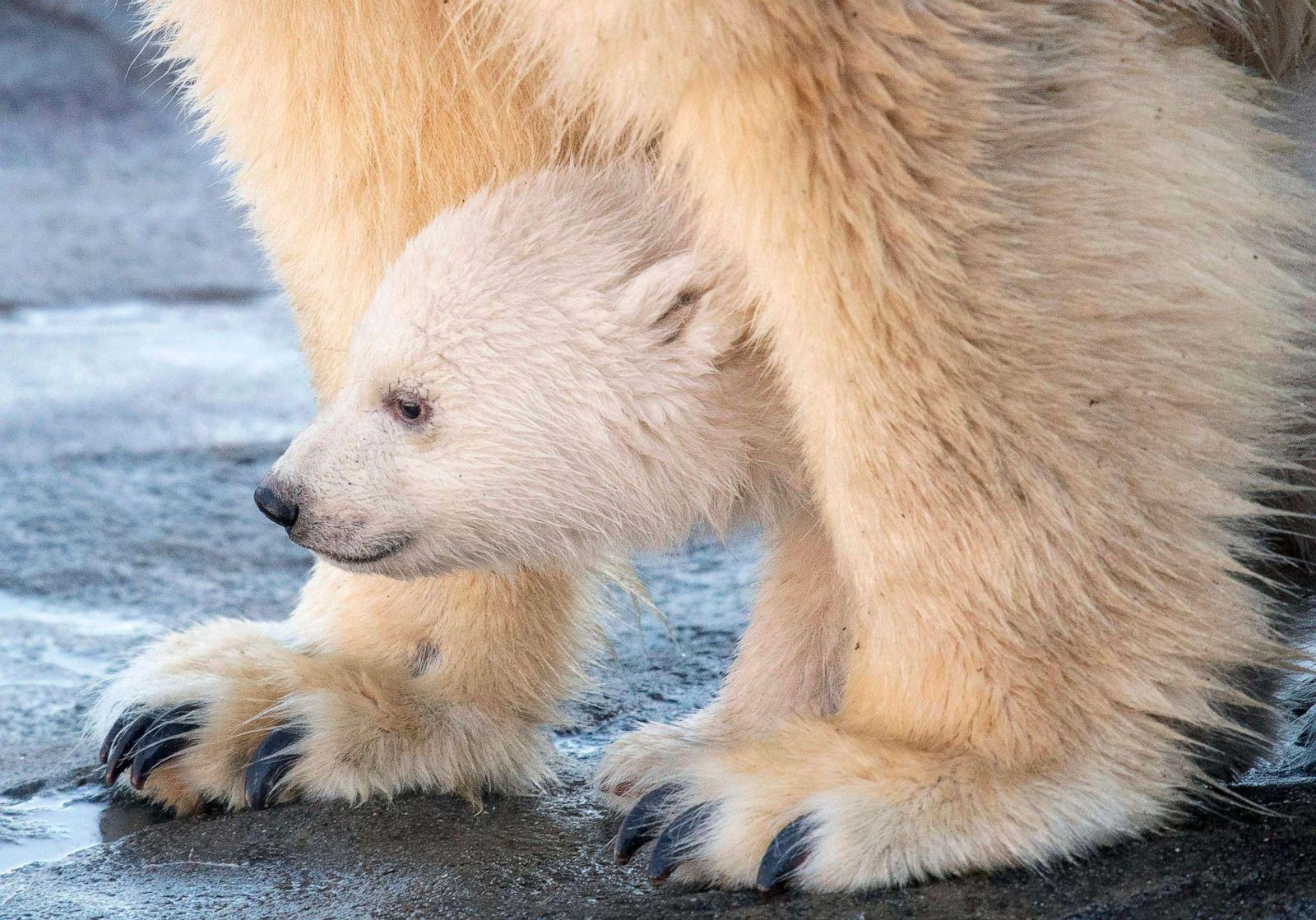 Polar bear cub hangs with mom
