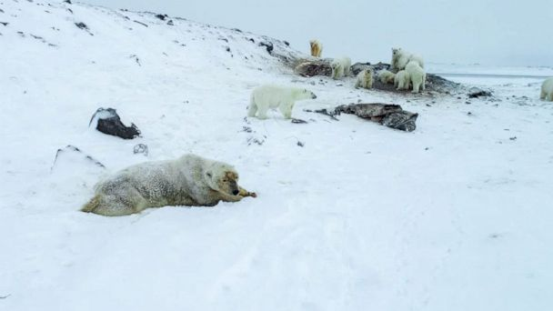 More than 50 polar bears descend on Russian village, frightening locals