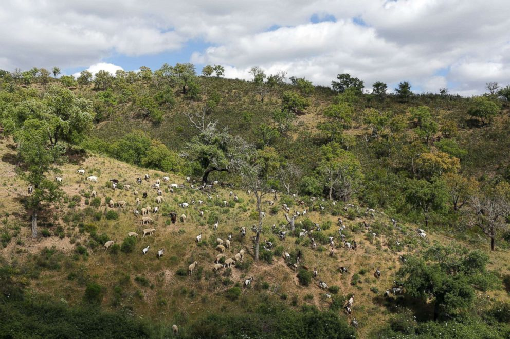 PHOTO: A herd of more than 200 goats slowly munches its way through the thick undergrowth covering the hills in Moita da Guerra, in southern Portugals Algarve region, June 5 2018.