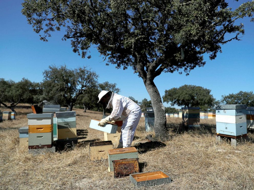 PHOTO: Beekeeper Helder Martins looks at a hive on a farm where his bees pollinate the trees near Pias, Portugal, Aug. 10, 2018.