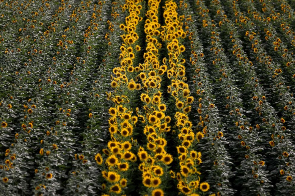 PHOTO: Rows of sunflowers are seen on a cereal intensive farm near Portel, Portugal, Aug. 2, 2018.