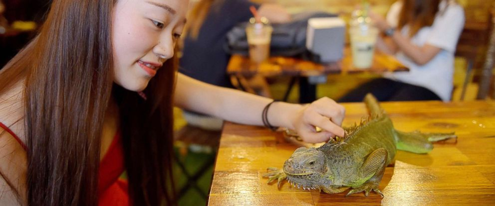 PHOTO: A customer touches a green iguana at the Reptile Cafe in Phnom Penh, Cambodia, Aug. 18, 2018.