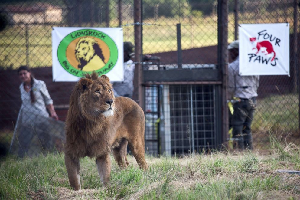 PHOTO: Saeed a lion is released into his new adaptive enclosure at Lionsrock in Bethlehem, South Africa, Feb. 26, 2018.
