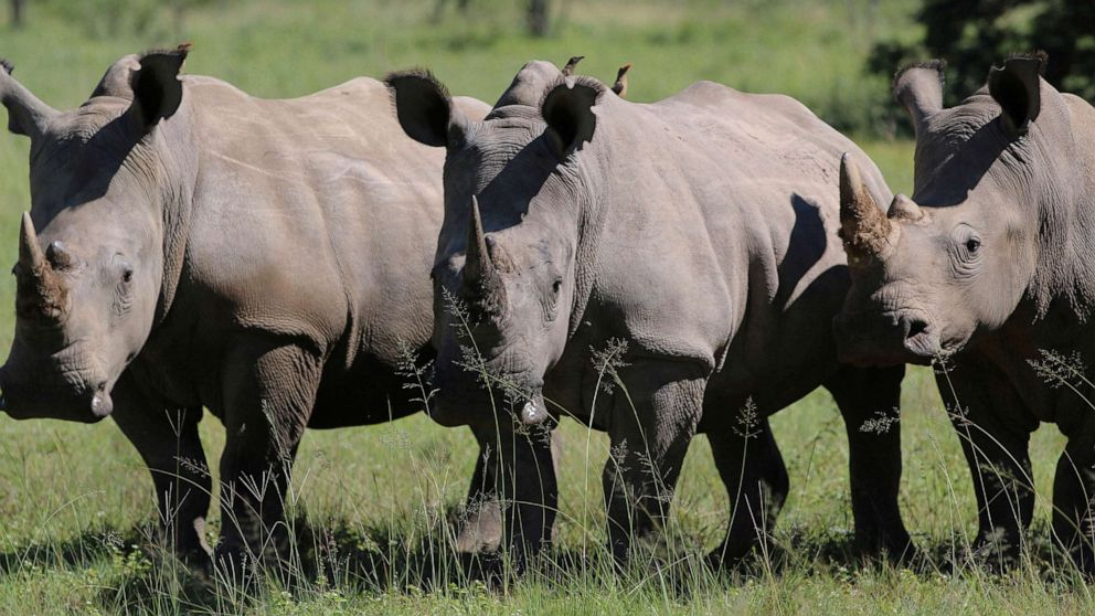 Rhino poaching in South Africa is drastically declining due to COVID-19 blockade, officials say