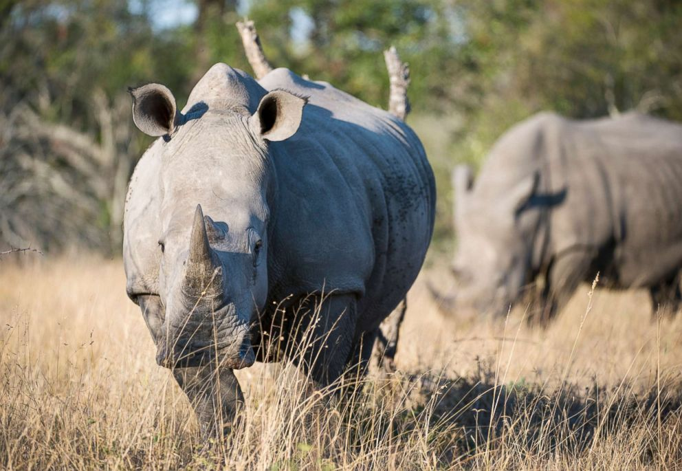 PHOTO: White rhinoceros or square-lipped rhinoceros in the Sabi Sands Game Reserve adjacent to the Kruger National Park in South Africa are the second largest land mammals in the world.