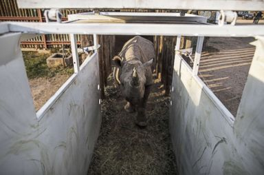 PHOTO: One of the six black rhinos to be transported and reintroduced to Chads Zakouma National Park roams inside an enclosure at South Africas Addo Elephant National Park, May 2, 2018.