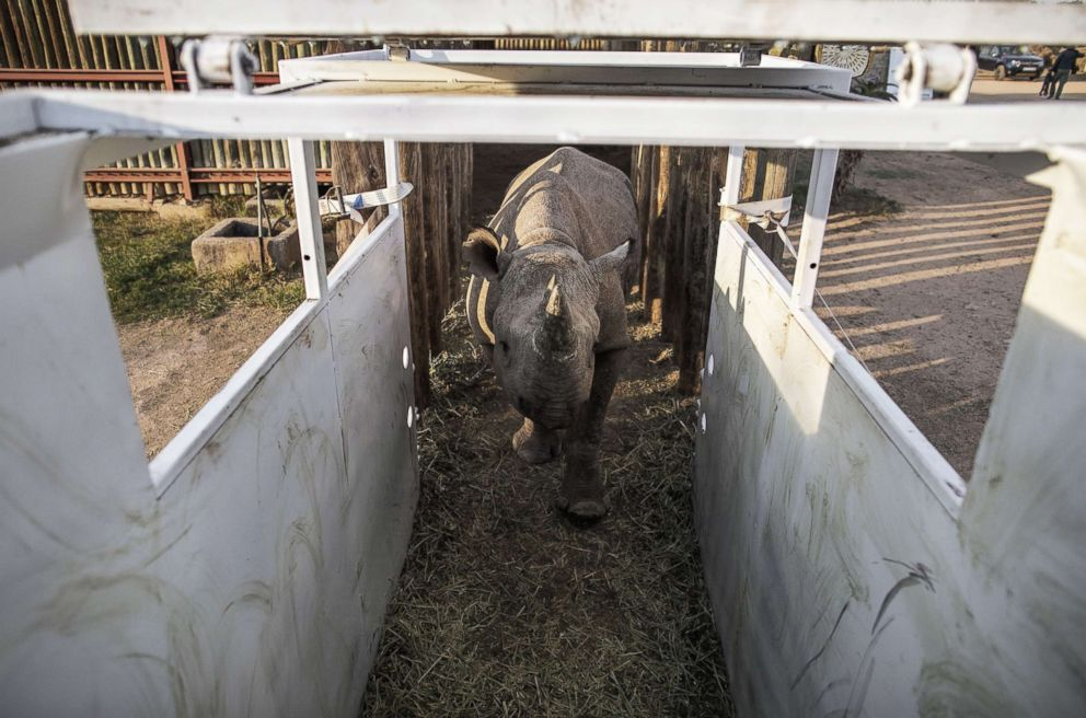 One of the six black rhinos to be transported and reintroduced to Chad's Zakouma National Park roams inside an enclosure at South Africa's Addo Elephant National Park, May 2, 2018.