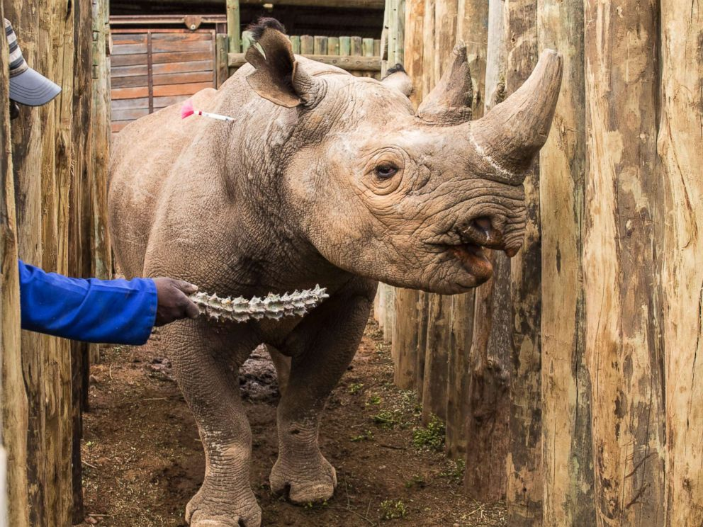 PHOTO: A rhino is coaxed into a crate at South Africas Addo Elephant National Park, May 3, 2018, before being transported to Chads Zakouma National Park.