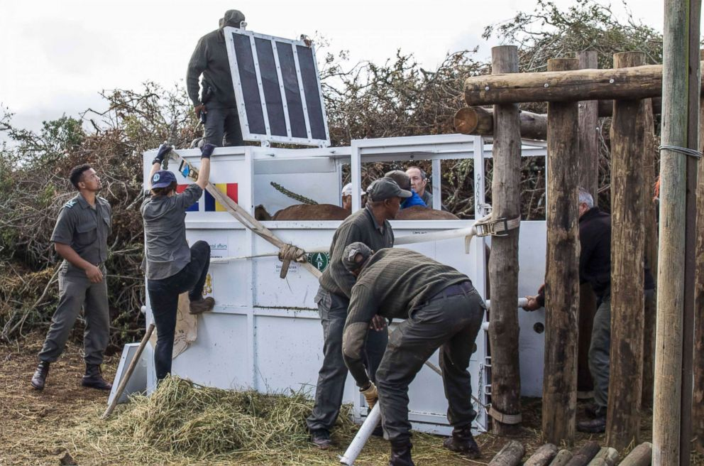 PHOTO: A rhino is secured in a crate in South Africas Addo Elephant National Park, May 3, 2018, before being transported to Chads Zakouma National Park.