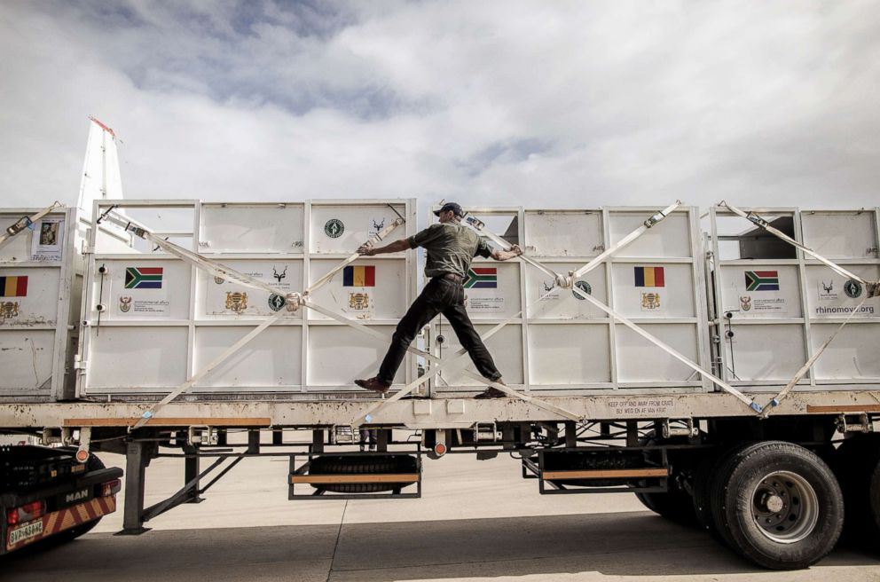PHOTO: Veterinarians and airport cargo personnel load six rhinos into crates to be airlifting to Chads Zakouma National Park, May 3, 2018.