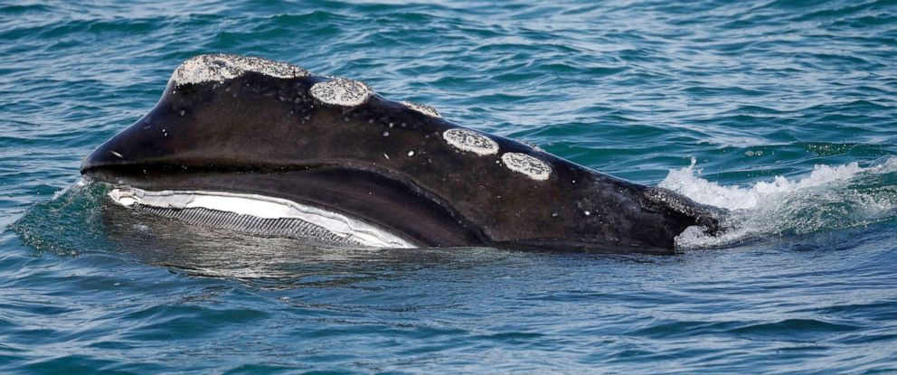 PHOTO: In this March 28, 2018, file photo, the baleen is visible as a North Atlantic right whale feeds on the surface of Cape Cod bay off the coast of Plymouth, Mass