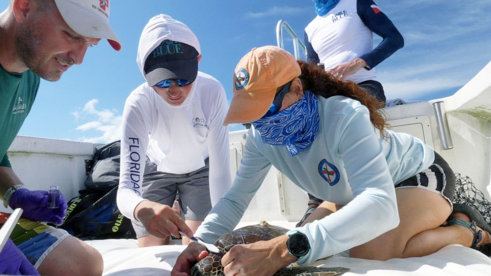 PHOTO: Force Blue team member Oz Sparks, center, assists Loggerhead Marinelife Centers Director of Research Justin Perrault, left, and lead scientist from The Turtle Hospital Bette Zirkelbach with collecting a diatom sample from a green sea turtle.
