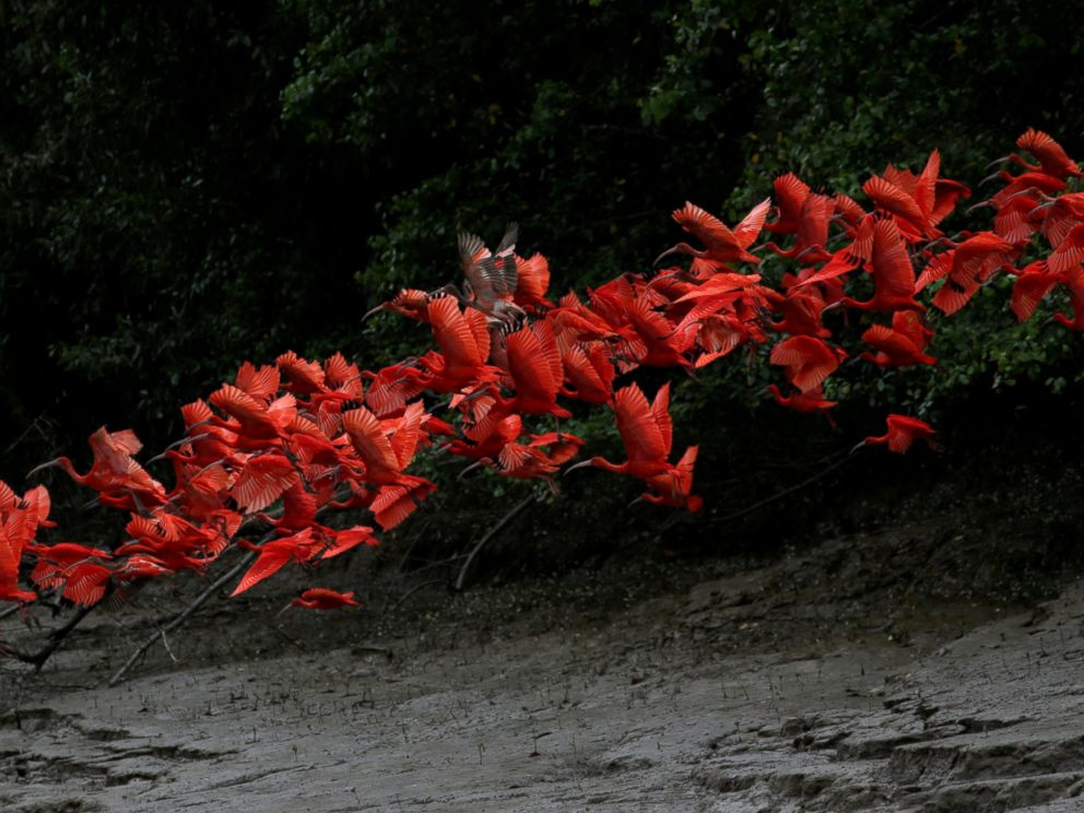 PHOTO: Scarlet ibis fly near the banks of a mangrove swamp located at the mouth of the Calcoene River on the coast of Amapa state, northern Brazil, April 6, 2017.