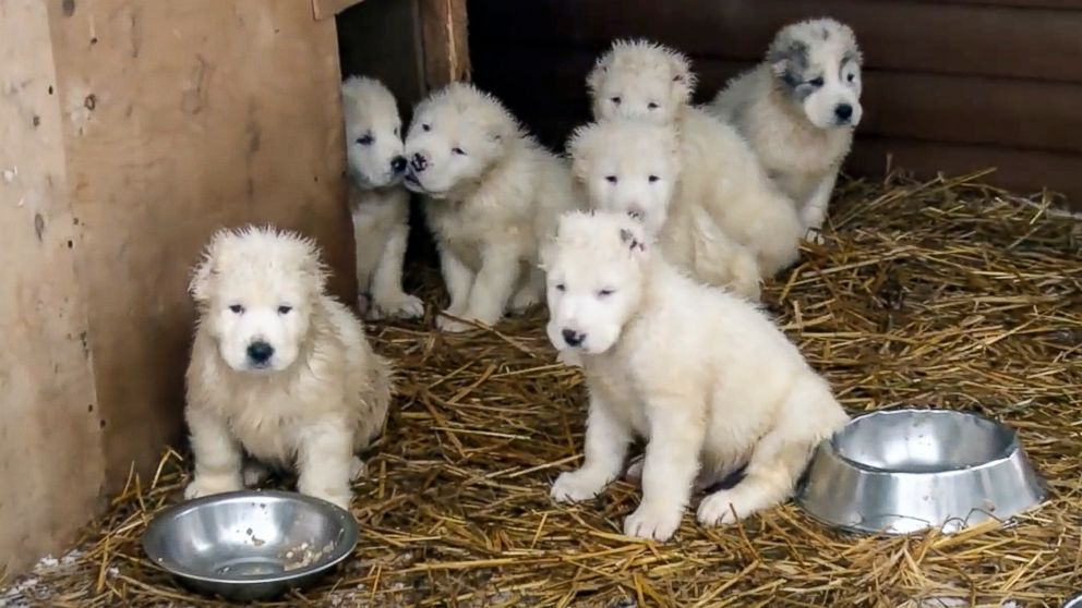 Wonderful Puppies Army Adorable Dog - russian-puppies-01-ap-jrl-180102_16x9_992  Collection_65517  .jpg