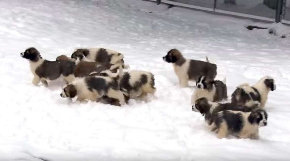 Wonderful Puppies Army Adorable Dog - russian-puppies-02-ht-jrl-180102_9x5_992  Collection_65517  .jpg