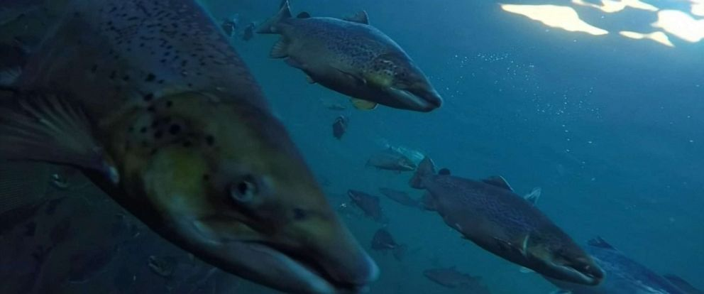 PHOTO: An organization is attempting to hunt down some of the hundreds of thousands of salmon that have escaped Norwegian breeding facilities this year.