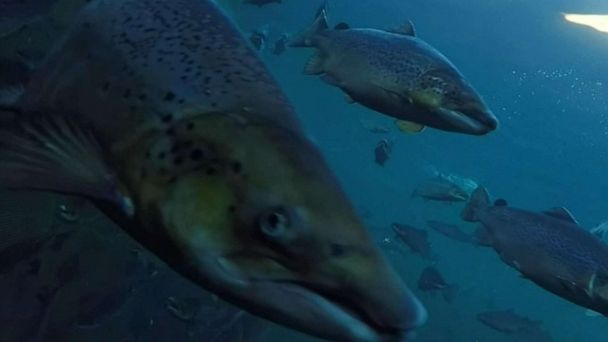 Fisher hunters trying to round up 300,000 runaway salmon that escaped Norwegian breeding farms into rivers