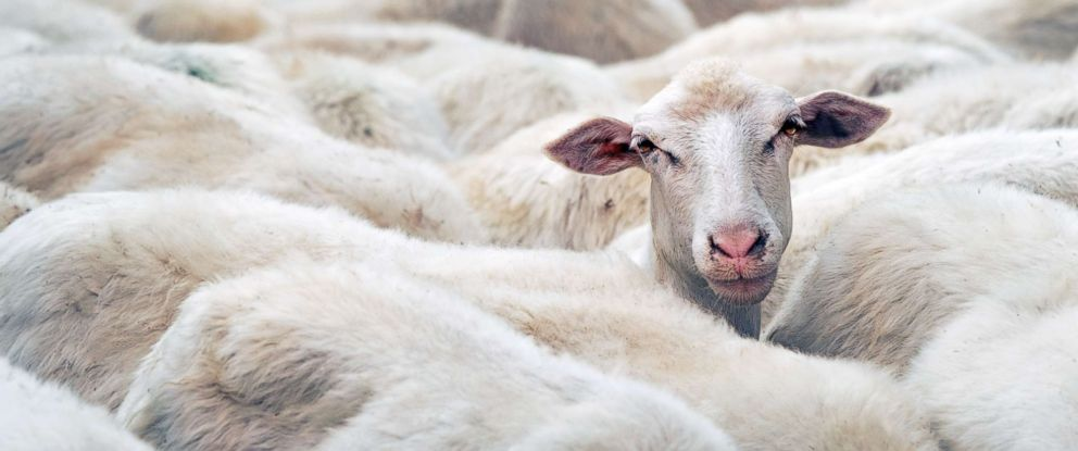 PHOTO: A sheep is seen in this stock photo.