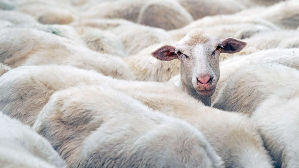 A sheep is seen in this stock photo.